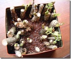 たらの芽の水耕栽培、1ヵ月後