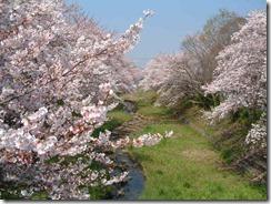 玉川堤の桜は満開(2009年4月7日撮影)