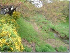 京都・井手町、玉川堤の桜が散って、山吹が満開