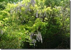井手町の山に咲く自然の藤