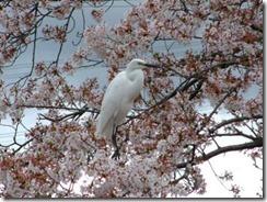 京都・井手町の玉川堤の桜に白鷺(シラサギ)