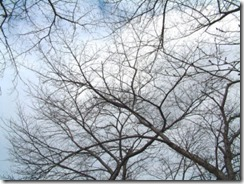 京都・井手町、玉川堤のまだつぼみの桜