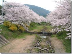 京都・井手 玉川堤の桜と山吹