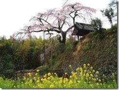 2007年撮影・京都・井手町、地蔵禅院のしだれ桜