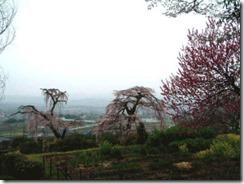 2007年撮影です。京都・井手町の地蔵禅院のしだれ子桜