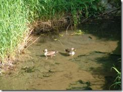 玉川で泳ぐ鴨のカップル