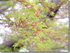 京都・井手町の玉川堤もみじの花