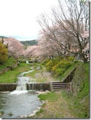 京都・井手町の玉川堤の桜の花筏