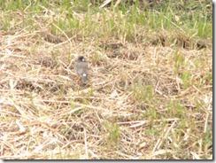 井手・玉川の小鳥