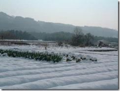 井手町の畑への積雪。ネギと白菜が埋まってます