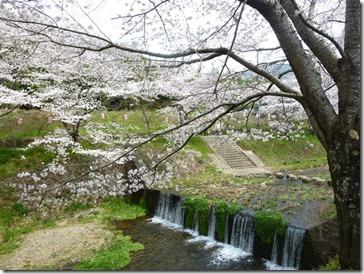 京都・井手町の玉川堤のソメイヨシノ、2012年4月7日朝9時半頃撮影