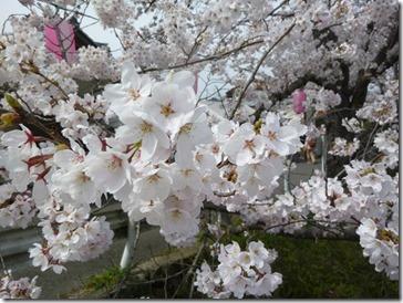 京都・井手町玉川堤の桜(ソメイヨシノ)