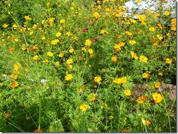 草木染の染料になるキバナコスモス、花だけ摘みます