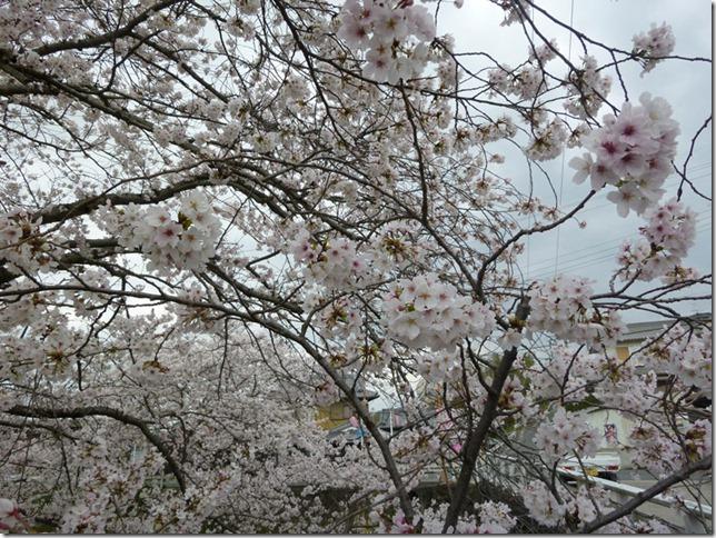 京都・井手玉川堤の桜は満開!(JR玉水駅すぐ 2013年4月3日撮影)