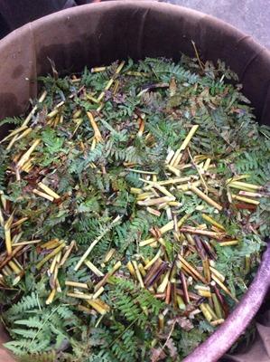 草木染に使う、ワラビの葉