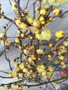 今日の草木染教室に使った蝋梅(ろうばい)