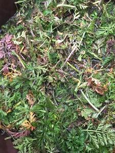 草木染に使う人参の葉