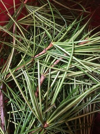 高野槇を刻んで煮だして、草木染にします。
